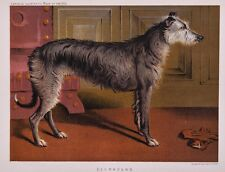 C1890 Chromolithograph From The Illustrated Book of the Dog Cassell ~ Deerhound