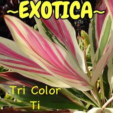 "~EXOTICA~ Live Hawaiian Ti Log ""Tri Color Ti"" COLORFUL RARE Cordyline Cutting"