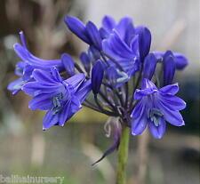 3 New Agapanthus Sandringham dark blue flowers good garden perennial plant