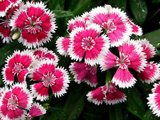 Heirloom 1000 Seeds Dianthus chinensis Carnation Heirloom Sweet William Mixed