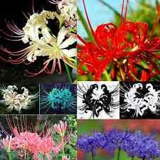 5PCS coloré ampoules lycoris radiata, spider lily, lycoris ampoule seed plant fleur
