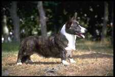 415040 Cardigan Corgi A4 Photo Print