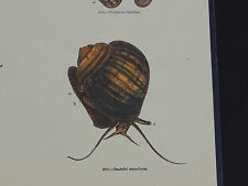 Hand Color Prints c.1856 - Charles Knight's Illustrated Natural History #02
