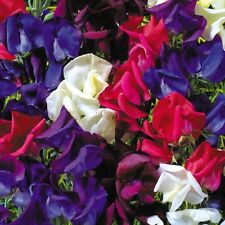 Kings Seeds - Sweet Pea, Starry Night - 20 Seeds