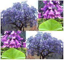 (200) Kiri Princess Tree Seeds - Foxglove Empress Seed - Paulownia tomentosa