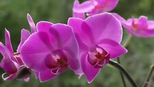 Orchid-Plant Dendrobium Orchid Plant Violet Color Flowers (Pot Included)