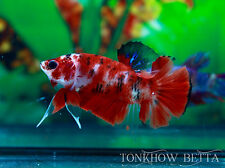 HMPK Fancy Koi / Red / Male / Size M+ / Live Betta Fish, Thailand Fighting Fish