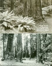 Muir Woods National Monument, CA The Cathedral & Giant Ferns and Redwoods RPPCs