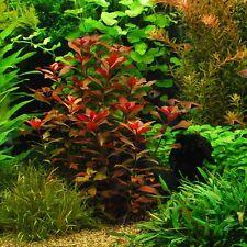 "Ludwigia Repens ""Rubin"" - Live Aquarium Plants Java Moss Rotola ADA Aquascaping"