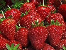 50 Strawberry Plants BEST BERRY Bare Root Plants Garden Fruits NEW