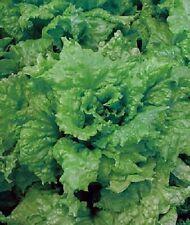 10,000 Lettuce Seeds Leaf Salad Bowl Green BULK SEEDS