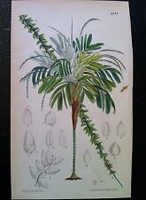 Botanical Print, John Nugent Fitch, Antique c1882 chromolithograph Plate 6644