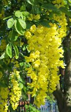 GOLDEN CHAIN TREE (Laburnum anagyroides) 20 seeds