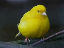 A SONG BIRD IS IN THE AIR CANARY SONG TRAINING TEACHING YOUR BIRD TO SING CD