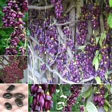1 semilla Mucuna sempervivens seeds seed tree