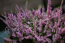 SEEDS 20 graines de Bruyère d' été (Calluna Vulgaris) SCOTCH HEATHER SAMEN SEMI