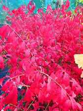 Japanese DWARF Burning Bush LARGE 15litre size 3.5ft Euonymus alatus compactus