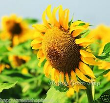 MEXICAN GIANT SUNFLOWER - EDIBLE - Yellow Helianthus Annuus 200 SEEDS Vegetable