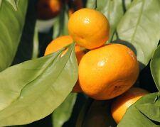 Huile essentielle de Mandarine pure et naturelle Top Qualité 100 ml