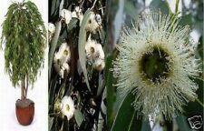 PFEFFERMINZ-EUKALYPTUS, das Duft-Wunder mit tollen Blüten.