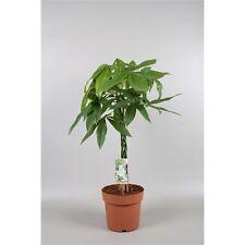 Zimmerpflanze  Pachira aquatica 45 cm +/- Glückskastanie Blumenversand