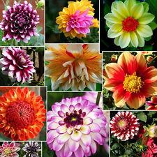 2tlg Gemischt Bunt Dahlien Großblütig Blumenzwiebeln Dahlie Pflanze Garten