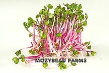 1 Pound RED ARROW RADISH SPROUTING SEEDS. Micro Greens. Premium Heirloom USA See