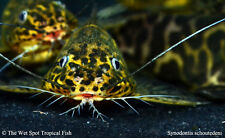 """(1) 1.5"""" Synodontis schoutedeni WILD Live Freshwater Tropical African Catfish"""