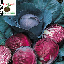 Cabbage Red Drumhead 20 Finest seeds