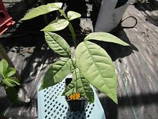 "12 - 16"" tall FLORIDA Ice Cream Bean Tropical Fruit Tree Plant Inga Pacay"