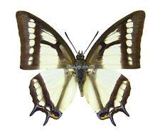 Unmounted Butterfly/Nymphalidae - Polyura narcaea narcaea, male, China