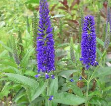 SPIKED SPEEDWELL * Veronica spicata * ROYAL CANDLES *  EASY SEEDS