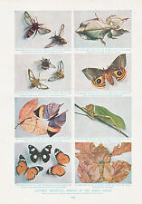 1910 NATURAL HISTORY DOUBLE SIDED PRINT ~ INSECT MIMIGRY / LION LIONESS