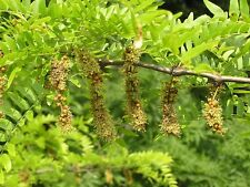 ATTRACTIVE HONEY LOCUST- sweet fragrant-  100 seeds