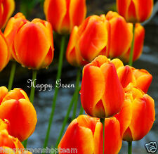 12 x APELDOORN ELITE Darwin Tulip bulbs Red Yellow + extra packets flower seeds