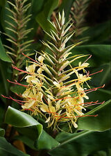 Hedychium gardnerianum Hardy Kahili Ginger sent in a 9cm pot