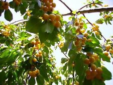 1 **** YELLOW  CHERRY TREE 1 FT ********* FLOWERING FRUIT TREES NOW SHIPPING