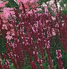 "40+ SALVIA ""ROSE QUEEN"" FLOWER SEEDS SAGE  LONG LASTING PERENNIAL"