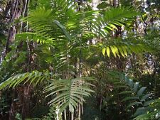 Chamaedorea hooperiana - Hoopers Palm - 10 Fresh Seeds