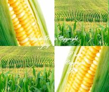 Heirloom Golden Bantam Sweet Corn 100 Seeds OP The Corn you remember from youth