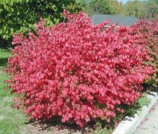 10 Dwarf Burning Bush Hardy Shrub Plants-Euonymus alatus Hardy Shrub Plants