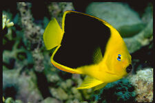 427020 The Rock Beauty In An Exquisite Species Of Angelfish A4 Photo Print