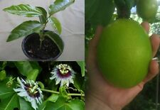 parcha (passion Fruit plants in cups from puerto rico ready to grow fast shiping