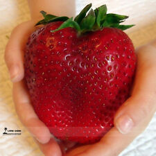 GIANT STRAWBERRY Seeds ~ Flower Rare Garden Plants Seedling Strawberries