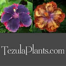 Tropical Hibiscus Seed: Moorea My Blue Pearl x Moorea Melody Beethoven - PREMIUM