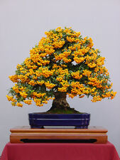 Bonsai seed - Sea Buckthorn, Hippophae rhamnoides, Seeds, Hardy, Edible Fruit