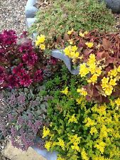 "Alpine Rockery Collection Perennial Plants 12 FOR £18 ""NOT PLUGS"" 9cm pots"
