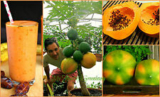 "SEEDS - Dwarf ""Coorg Honey Dew"" Papaya Tree - Easy Grow indoor/outdoor in a pot!"