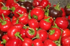 "MINIATURE 2"" BRIGHT RED BABY BELL SWEET PEPPER 20  PROFESSIONAL SEEDS ORGANIC"