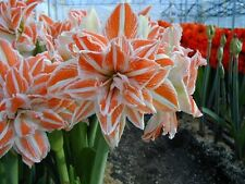 Amaryllis Bulb -DANCING QUEEN - Double Blooms - VERY RARE - Hippeastrum - 1 Bulb